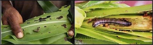 Fall army worm in maize