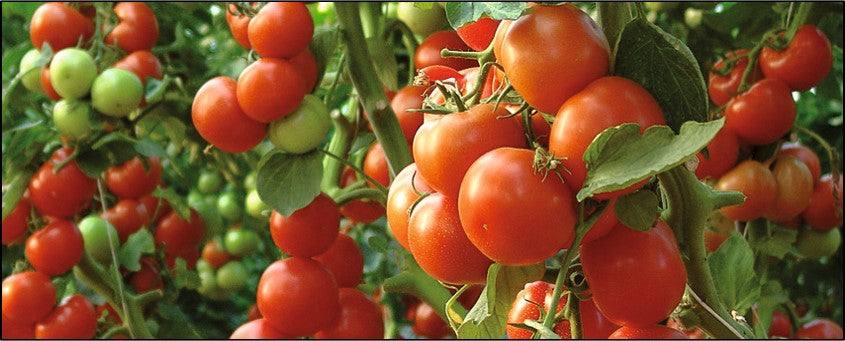 Tomato LYCOPERSICON ESCULENTUM fruits grown on drip fertigation