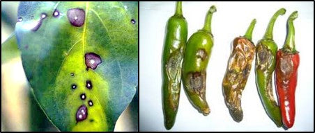Fruit rot in Chilli