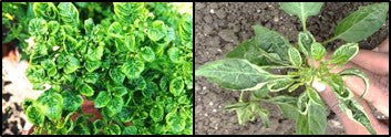 Gemini Viral infections in Chilli crop