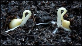 Germinating seeds