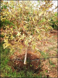 Root knot damage in Guava crop