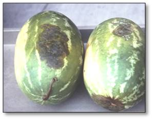 Gummy stem blight infection symptoms on fruit