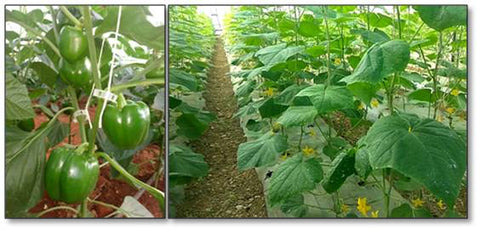 Healthy ploy house crops cucumber and capsicum without root knot nematodes infestation