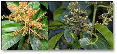 Sooty mold due to mango plant hoppers infestation
