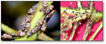 Hoppers on Mango flowers