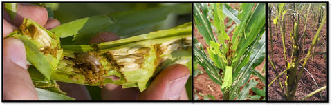 Damegd of Armyworm on corn/ Maize