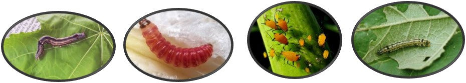 Insects that kill plants