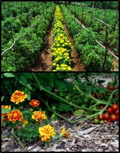 Intercrop in Tomato crop