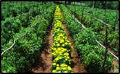 Intercrop in Tomato crops.