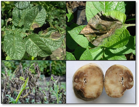 Late blight disease symptoms and management in Potato Crop