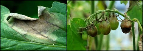 Late blight infection in Potato crops