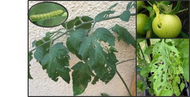 Leaf and fruit feeder on tomato crop