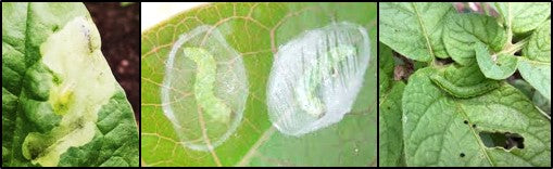 Leaf miners an d caterpillars on tomato