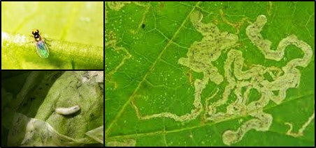 Leaf miners in Crops