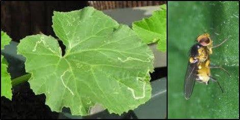 Leaf miners on Pumkin