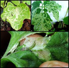 Leaf miners on Crops