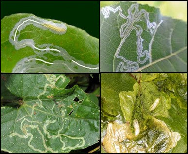 Leaf miners on vegetable crops