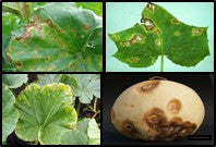 Leaf spot and anthracnos disease on gourd crops