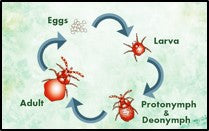 Life cycle of Red Spider mites