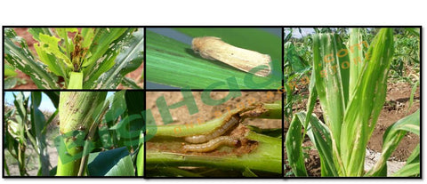 Maize Shoot borer