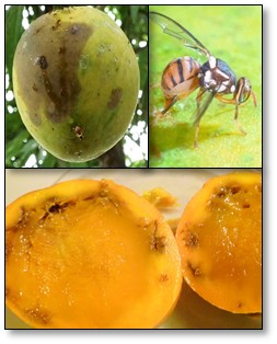 Mango fruit flies