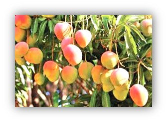 Mango fruit setting