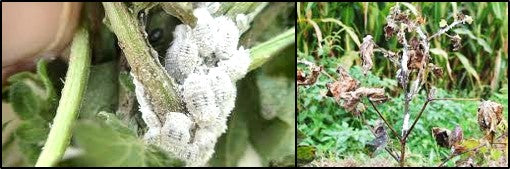 Mealy bugs in cotton