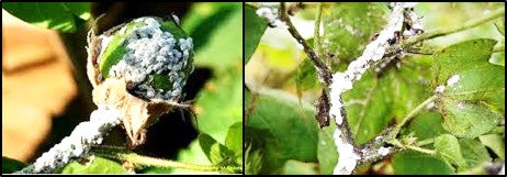 Mealy bugs in cotton crop