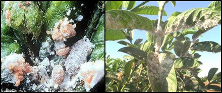 Melay bugs infestation on Guava crop
