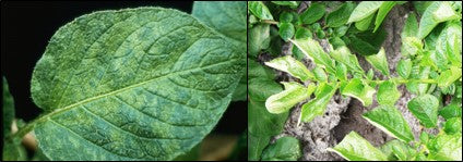 mosaic and leaf roll disease in potato crop