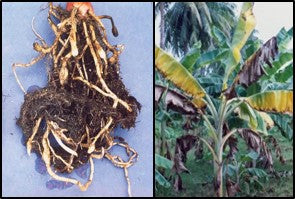 Nematode infestation in Banana Crop