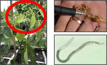 Root not nematodesin chilli