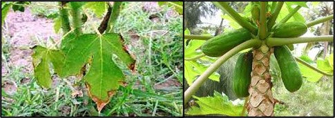 Nutrient deficiency in papaya also cause flower dropping