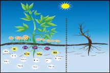 Nutrient management for late blight disease on Tomato
