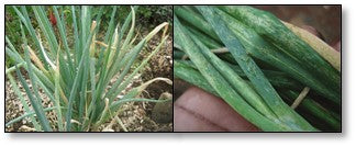 Onion crop infested with thrips and tip burn
