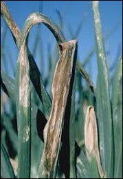 Onion tip burn due to fungal infections