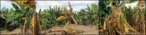 Panama wilt or Fusarium Wilt of Banana crop