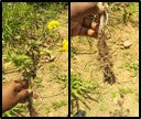 Root rot in Marigold plants