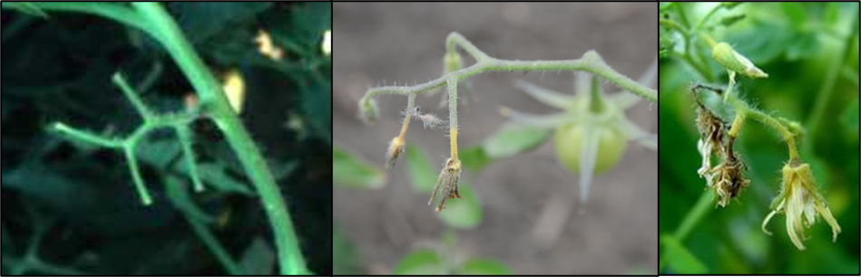 Fungal infections causing flower drop