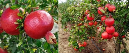 Good size in Pomegranate fruits