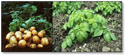 Late blight disease management in Potato Crop