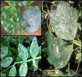 Powdery mildew disease on pea crop and chick pea