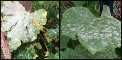 Powdery mildew in gourd crops