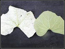 Powdery mildew in gourds
