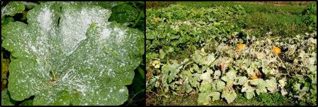 Powdery mildew of Pumpkin
