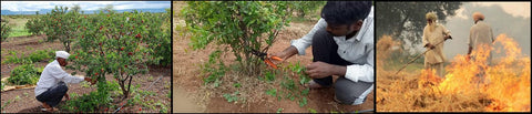 Pruning for Bacteria control in Pomegranate