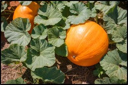Pumpkin cultivation