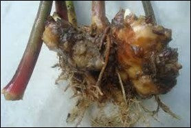 Pythium rot in ginger