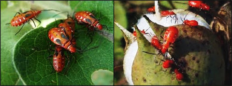 Red cotton beetles